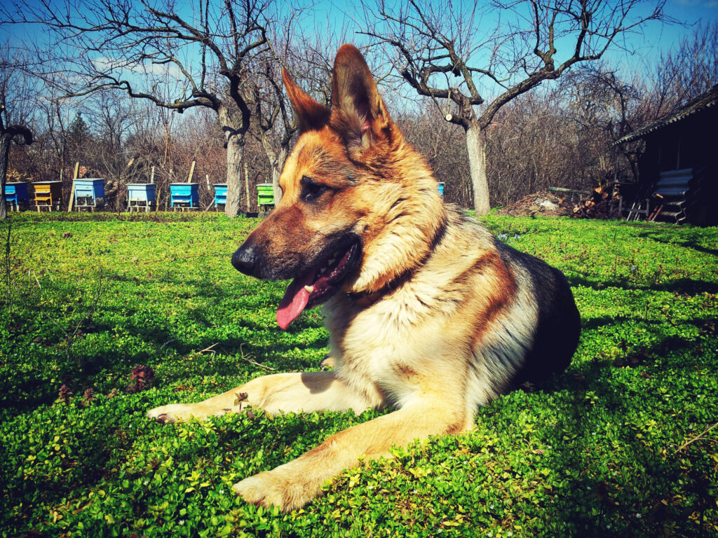 German shepherd in park